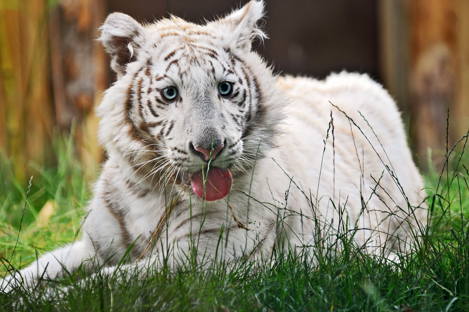 Tired white tiger cub by Tambako the Jaguar from flickr (CC-ND)