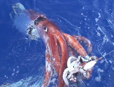 binatang paling aneh di dunia 1 cumi cumi kutub selatan