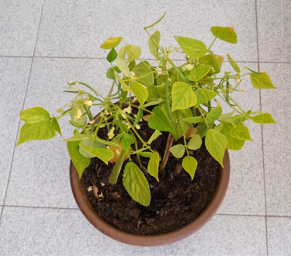 cultivo de judias verdes en maceta