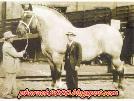 Image of the largest horse in the history of the world, taken in 1928