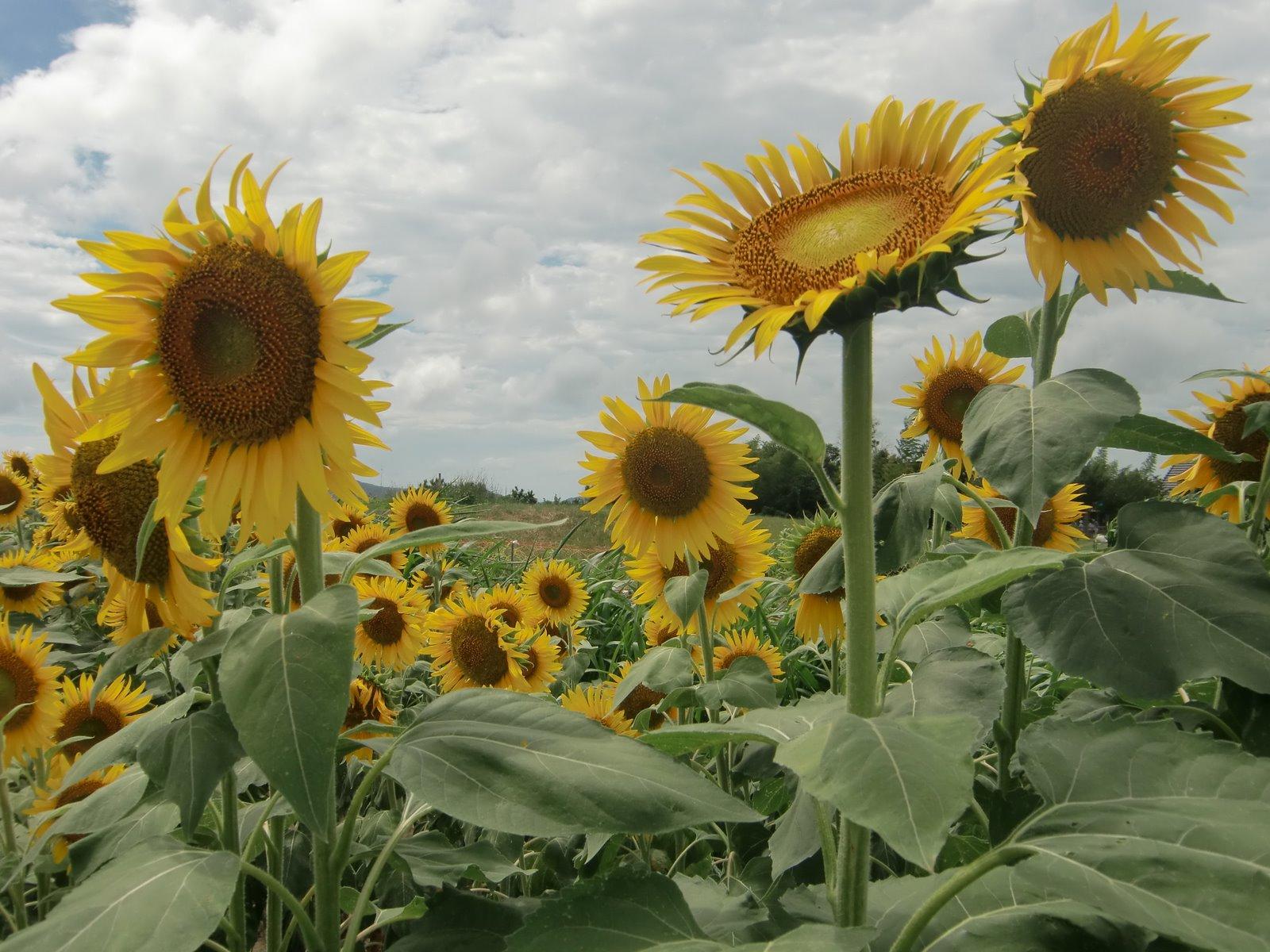 Entre gubias y maderas flores de verano - Flores de verano ...