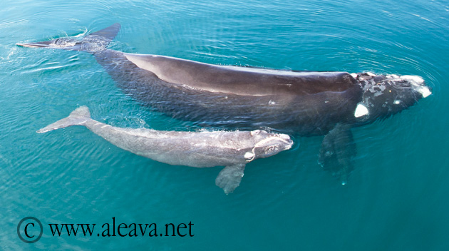 Right Whale and  how the calf receives the mother's milk