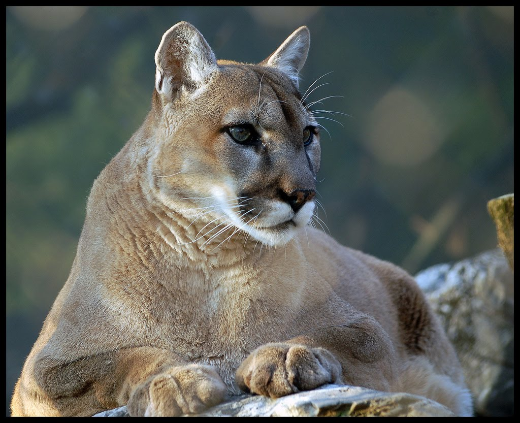 Cougar   Wildlife Info and Photos   The Wildlife