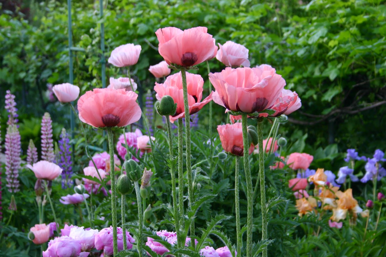 Oriental Poppies Easy To Grow And Maintain