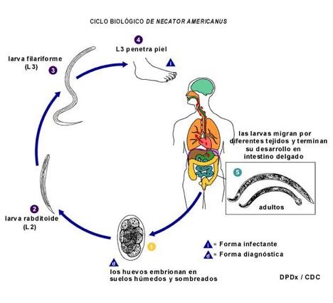 Como dan el análisis a los parásitos en el hígado