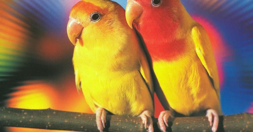 daftar isi warna warni lovebird
