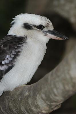 Laughing Kookaburra (Dacelo novaeguinae)