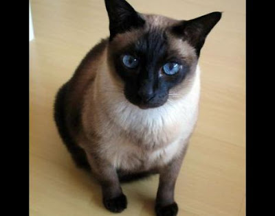Siamese Cat Breed wallpapers
