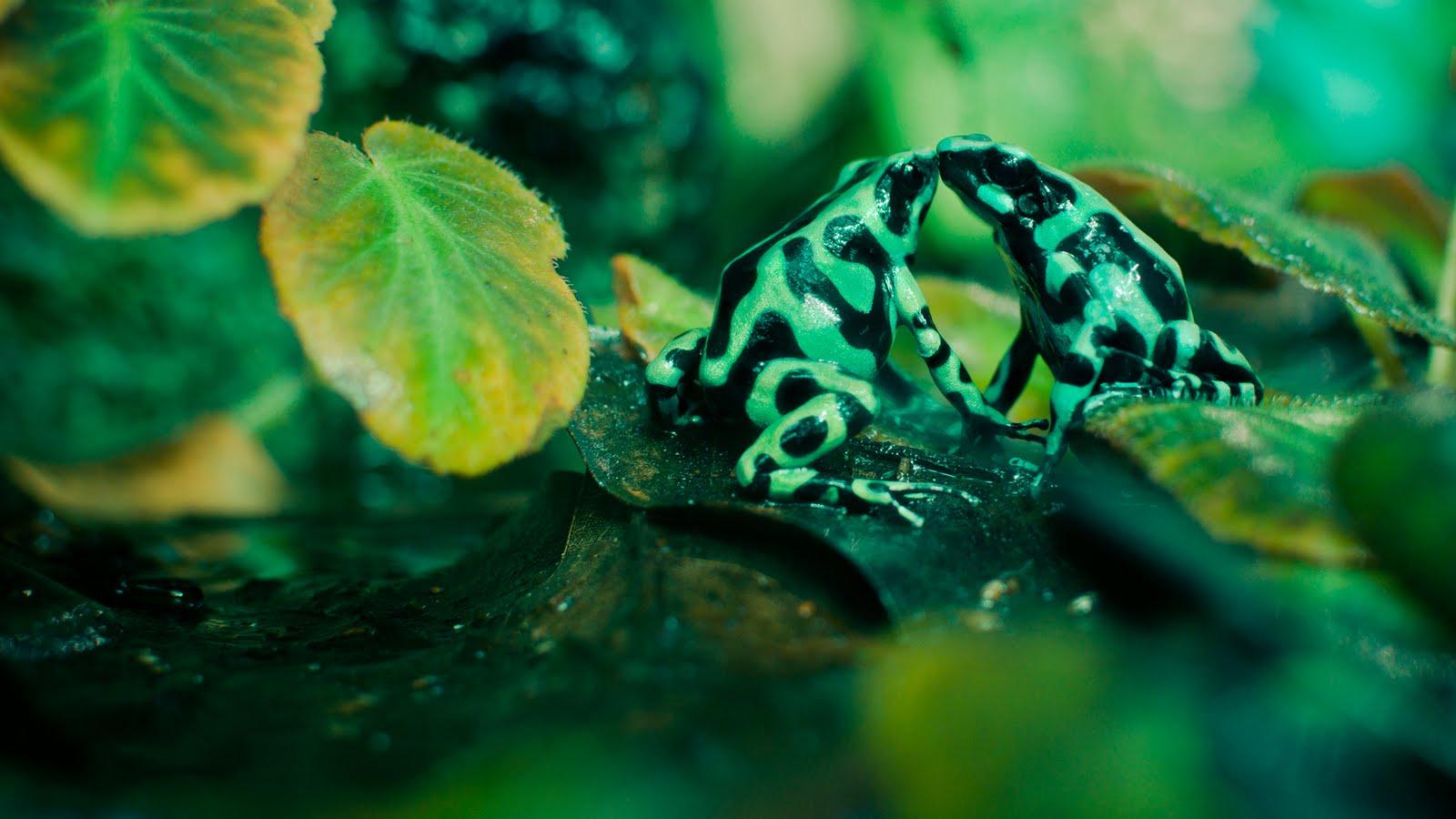 love u wallpapers poison dart frog backgrounds