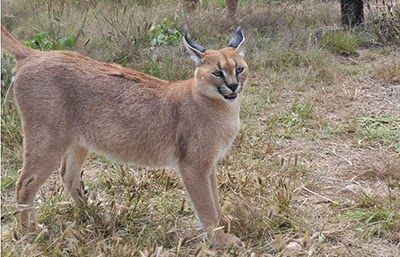 Caracal in an African wildlide conservation project