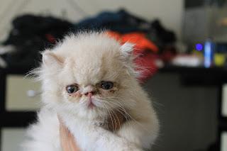 Kucing parsi cream