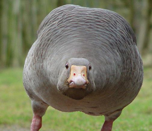 http://2.bp.blogspot.com/-rtDy7D2V8w0/Tuywo0RX-RI/AAAAAAAAAXI/kAiVrFS5p6w/s1600/Tripple-Fat-Goose.jpg