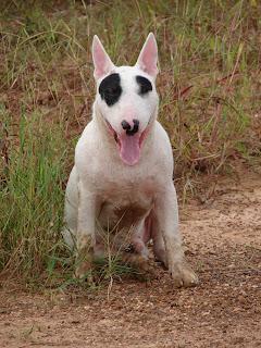 Bull Terrier : นิสัยของน้องหมา บลูเทอร์เรีย
