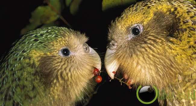 Kakapo Parrot ( Burung Nuri Kakapo)