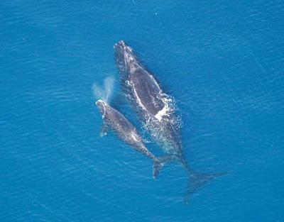 Blue whale birth - photo#26