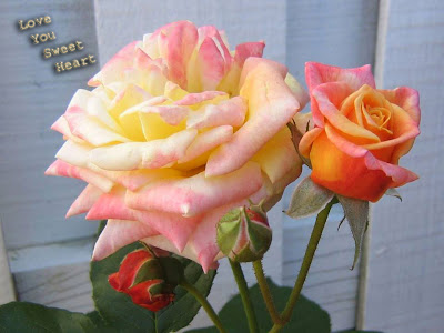 for my my loved ones  rose image