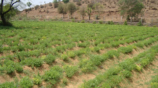 Stevia cultivation in Himachal Pradesh