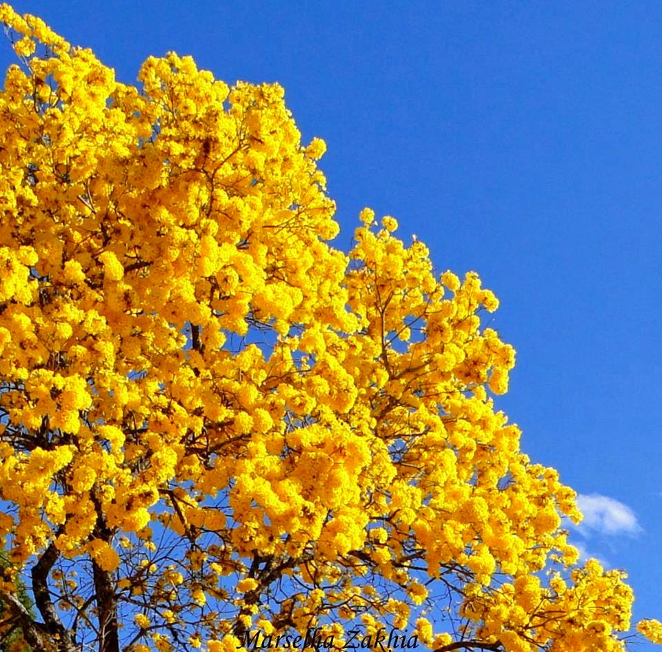 ipe de jardim familia:Teia Design: Ipê – Árvore Brasileira