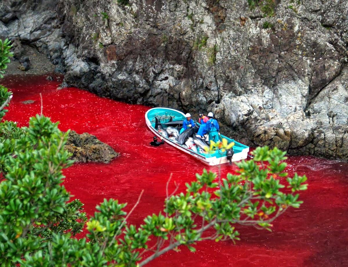 A partir de setembro, durante seis meses, a enseada de Taiji no Japão fica vermelha com o sangue de golfinhos