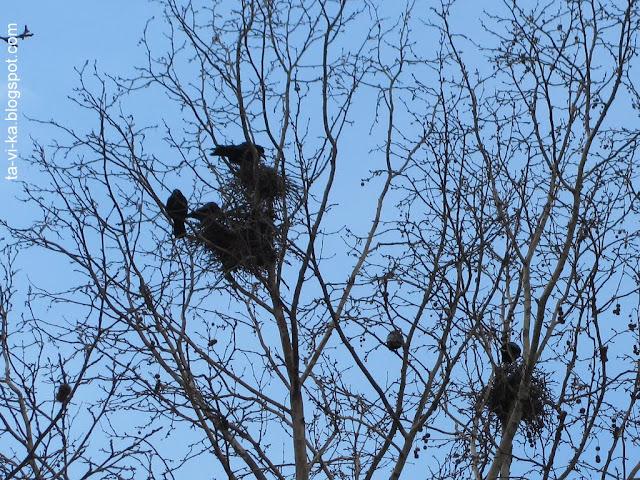 грачи вьют гнезда