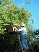 Capturing bee swarm May, 2012