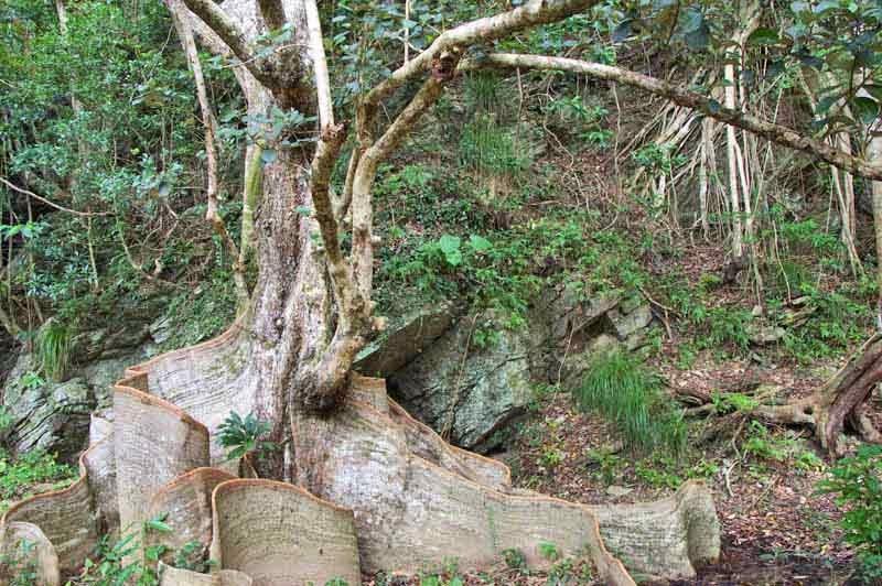 Heritiera littoralis,Sakishima Sappanwood, trees