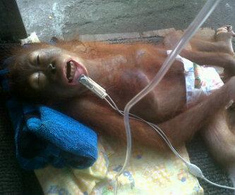 Ayin, Orangutan Korban Perdagangan Satwa Ilegal