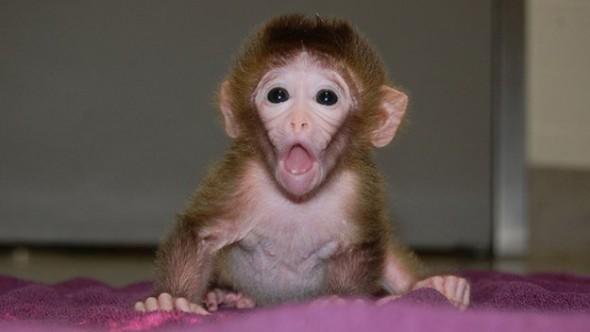Chimera Monkeys Created from Multiple Embryos