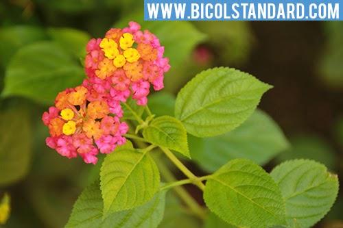 Asin-asin / Lantana flower