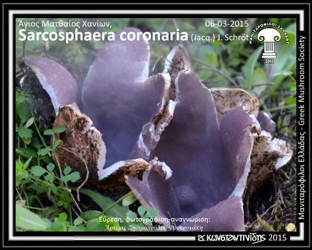 Sarcosphaera coronaria (Jacq.) J. Schröt