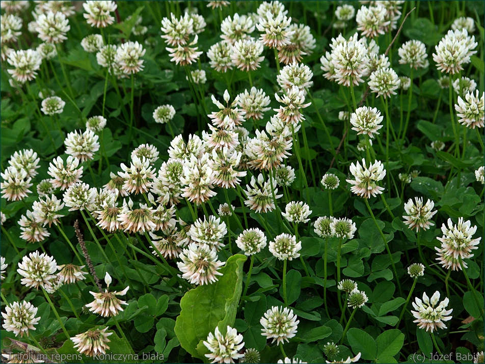 Trifolium repens - Koniczyna biała, koniczyna rozesłana kwiaty