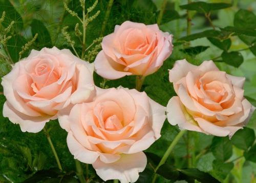 Versilia rose сорт розы фото