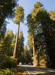 أشجار الساحل الحمراء أطول أشجار في العالم