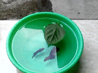 indukan ikan cupang yang akan dipijahkan