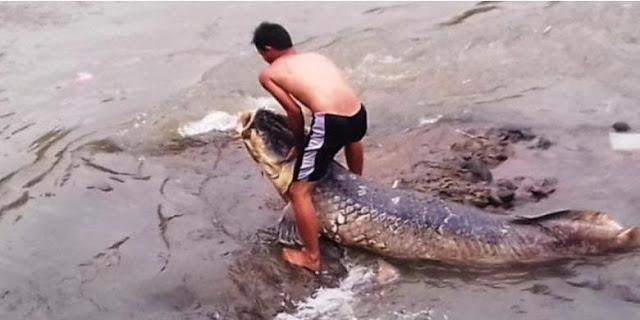 Ikan Raksasa di Ciliwung Sengaja di Buang Pemiliknya