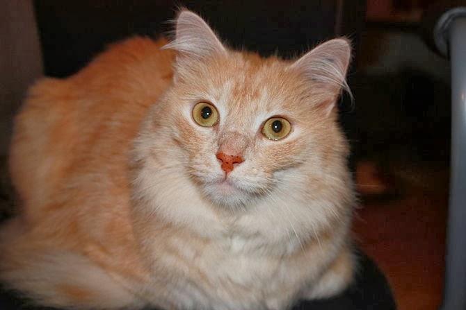 Claw Cat Mengenal Ciri Ciri Kucing Anggora Angora