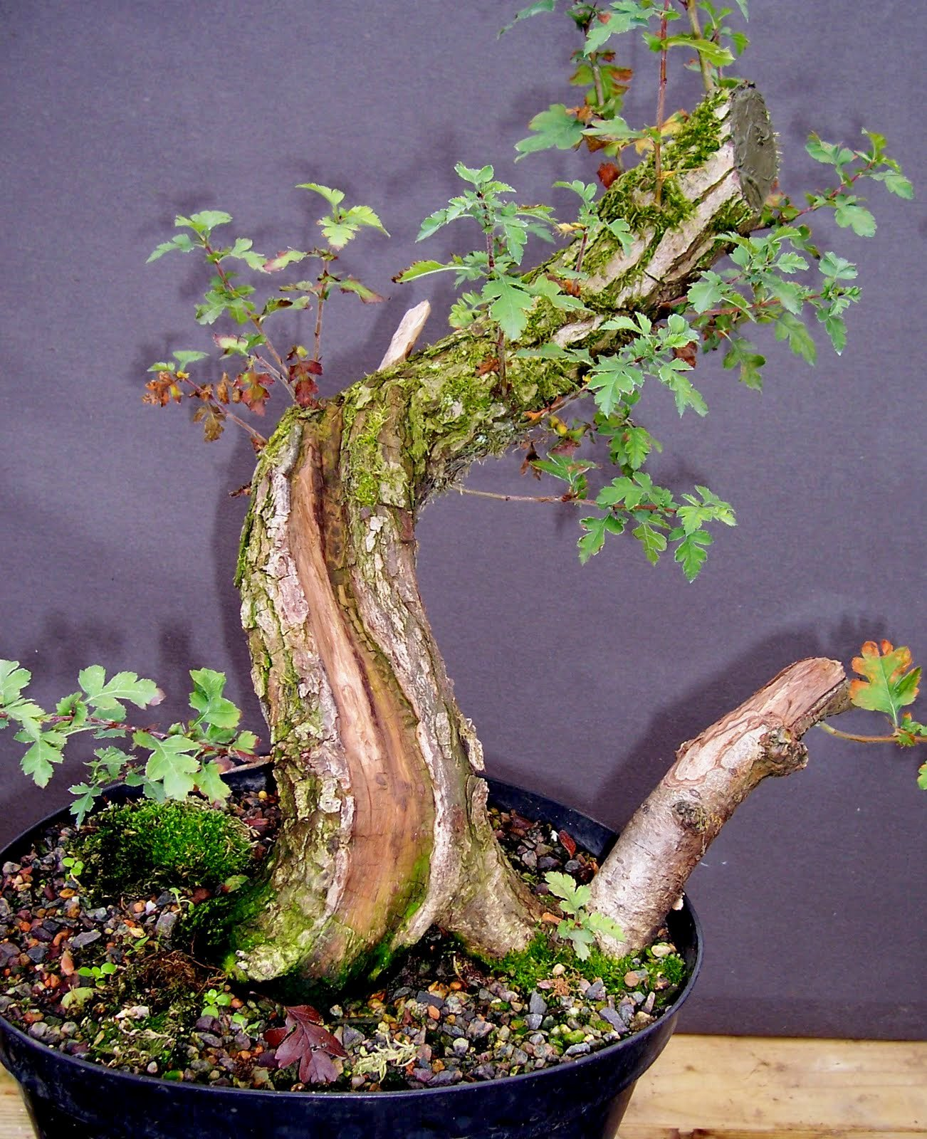 MiKo Bonsai November 2011