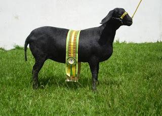 ovino, Brasil, pele, carne, ovinocultura