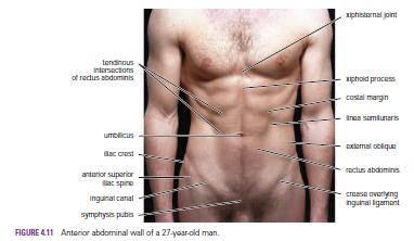 Human medecine surface landmarks of the abdominal wall linea alba surface landmarks of the abdominal wall linea alba ccuart Images