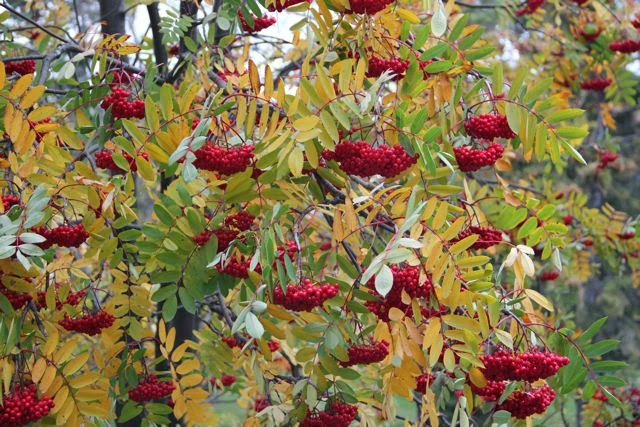 Mountain Ash in northern Minnesota
