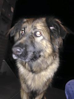 ρέθηκε θηλυκό ημίαιμο τσοπανόσκυλο κοντά στο Ελαιόρεμα, στην Πυλαία Θεσσαλονίκης.