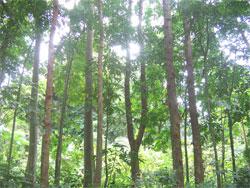 Majegau yang dalam bahasa latin disebut Dysoxylum densiflorum merupakan flora (tumbuhan) identitas provinsi Bali