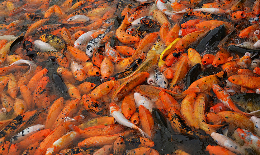 images Types of Popular koi fish in the favorite in Indonesia