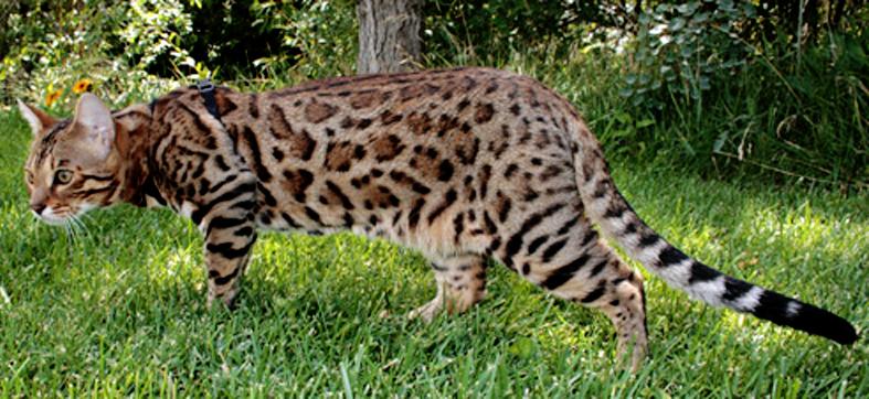 Сервала азиатской леопардовой кошки