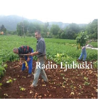 Unatoč kiši i poskocima nastavljeno vađenje mladog krumpira