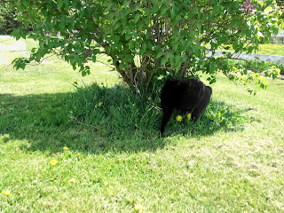 black cat in bush