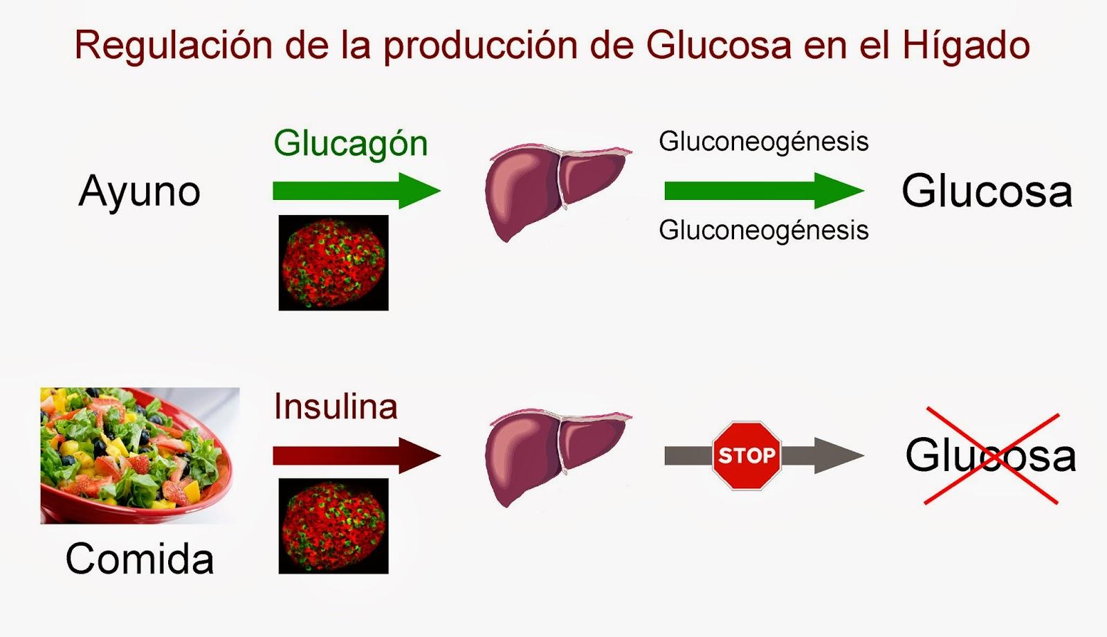 Durante el ayuno el hígado produce glucosa, que se inhibe tras una comida