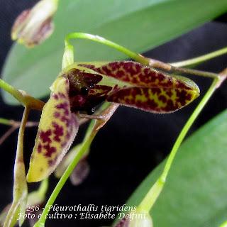 Pleurothallis arcuata, Acianthera arcuata, Specklinia arcuata