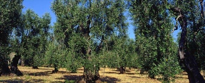 Chemical warfare against the Italian olive oil