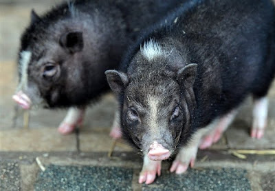 Pigs at Zoopark Animals News